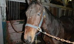Hi, I have a six year old standardbred gelding free to good home, he is an awsome horse. will make a great all around saddle horse, still needs abit of training but very smart and a quick learner, I was on his back rode him for a bit but just have too