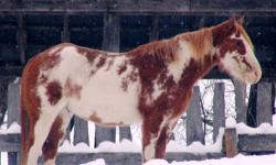 Have you seen Spec.? He could have been in the Ethelbert area from May of 2010 to spring of 2011. There is a reward offered for information. If have seen this horse or would like more information please contact Kim