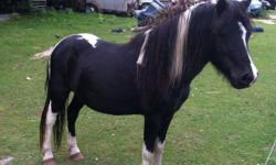 Buddy( black and white stud )10 years old. Peppa( black/brown mare) 13 years old Baby ( black and white baby) a couple months old All ponies are friendly . Buddy and pepa are holter broke They use to be rode with a sattle and with out. My dad had bought
