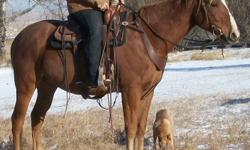 Windchester is a nice 16.1 hands tall and is very easy going. He has done everything from ranch work, to trail riding. He is just started on the barrel patern and seems to enjoy it. This guy is easy to catch, load, trim, shoe, etc. He does not get hot