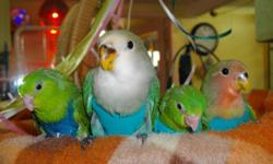 AT SUDBURY BIRD HOUSE we breed, hand feed, and socialize small parrots suitable for young families or as companions for mature adults.  Conveniently located across from the Rainbow Center, first left off Louis Street to 166 St-Joseph Street.  We can help