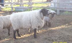 Unregistered Suffolk ram, 5 years old. Proven breeder. 400.00 obo