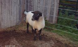 Arnie is a 4 yr old Suffolk Ram, he is a good maternal sire and leaves really nice lambs.  He is the British style Suffolk. Also have a ram lamb for sale he is 6 months old and ready to breed.....mom is a suffolk and dad is a texel. Would make a great