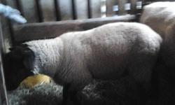 Pure bred Suffolk ram raised on hay and grass easy to handel