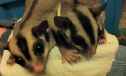 "I have a pair of sugar gliders (male and female) with in-pouch babies that need a new good home. I had rescued the adults from an ""iffy"" pet store and was working on rehabilitating them when Momma got pregnant. Her twins should be out-of-pouch any day. I"