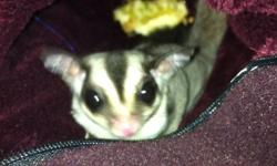 Female sugar glider, 11 months old. Comes with her cage, diet, toys etc. serious inq only please. This ad was posted with the Kijiji Classifieds app.