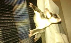 Hello, I have a pair of sugar gliders looking for a loving, knowledgeable or experienced home! They come with an awesome 6 foot tall flexarium cage, pouches and cage cover. They are anywhere from 2 to 4 years old as I am a second owner and not really 100%