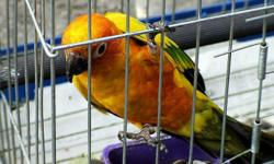 Sun conure females for sale they are dna/ banded. both birds are very friendly and tame very playful bieds. they eat zupreme pallets, fresh fruits and veggies they born in May 2011. if any one intrested pls call me or email me. and i have a cage for sale
