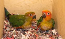 Hi there   sun conures for sale. They are 7 months old. All closed banded and DNA papered. 2 girls. They eat pellets Zupreem Avian Diets.  $500.00 each. If you want than email me, or call me at 647-547-3269, after 4 pm. Thanks