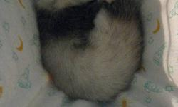 spade female  ferret comes with everything cage, food,bed ect.  she loves to be played with and chased  but just dont got time for her : (  but a really good pet to have email or call (250)962-8550 if your interested  thanks need it gone asap