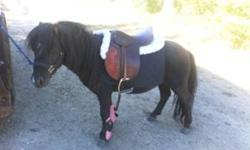 """Rocky is a 3 year old, miniature pony stallion..He is an amazing pony for children and he stands 37"""" tall, has a super behavior and personality (very calm and quiet pony). He is a very willing pony who learns very quickly. Rocky has awesome ground"""