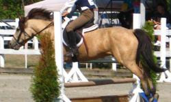 http://www.youtube.com/user/GryphonHollowFarm Magic Mischief - 12.2hh, 10 yr, buckskin, Welsh cross gelding.  Sound, good conformation, very smooth to ride, and fearless. Has shown hunter u/s, and to 2?3? hunter and jumper, schooled to 3?, good form over