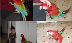 Selling my two super friendly and very young Green wing macaws. One of them is only one year old while the other one is 21/2. They both are unbelievably tame and have very sweet personality. Love to cuddle and play all day long. They both are in their
