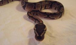 Hi, I am selling the last of my normal ball pythons to make room for this next breeding season. This sell is only going to last a week and only have a couple babies left. http://www.kgreptiles.com
