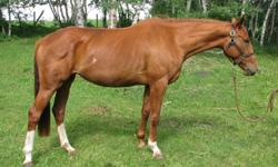 Salomea 2007 Oldenburg/Dutch warmblood Mare Chestnut 16.1 hands by SKEPTIC out of GALA SAFITA Lovely young prospect for either jumpers or dressage. Lightly started in the summer of 2011, was walking and trotting with a rider. Ready to continue her