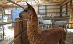 Curtis is a six year old, registered, proven male Suri Alpaca.  He stands tall and is a very in charge alpaca.  Curtis has a lovley golden brown, dense, shiny coat.  This alpaca has lots of fibre and winters well.