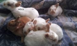 4 babies left for new homes. we have avail the orange blk girl again as they chose a boy and we have 3 white orange ones left. 1 orange/wht one with half orange half white on nose is a male the rest are females. All come when called and have been brought
