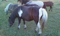 """Candy is a lovely little mare.  Perfect size for a little rider!  She is around 34""""  We purchased her broke to drive and ride.  she apparently was reg. Fallabella We did not get papers and don't have children.    Candy has been exposed to a pinto"""