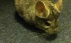 Im selling a Chinchilla my daughter owns because she is losing interest in taking care of it, so there for I'm having to do it , but my time is tight as well. His name is Pika and he loves to come out at least once a day in my daughters room to run around