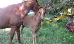 Milly is a 2011 old quarter horse filly.  She is very sweet and and is used to lots of things.  You can pet her everywhere and she picks up her front feet too.  Her mom is a very good mother, barrel racer, cattle worker, ranch, and trail horse.  Milly has