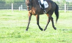 5 year old  16.2 Hanoverian cross gelding out of World Cup 1(unregistered) available for free lease or sale Walks, Trots, Canters and started over cross-rails, Has some show experience in the dressage ring. Sweet, Quiet and loves to work, but not suitable
