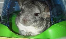 Our female chinchilla needs a new home ASAP....great Christmas present!!! She comes alone for $60 or with cage and all accessories plus dust and food for $100. She's about 3.5 years old. Loves to be pet and cuddled. Doesn't really care for cats or dogs.