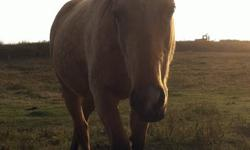I'm looking for a new home for Sassy, she's a yearling grade quarter horse. She has a sweet disposition and is willing to learn. She is completely halter broke, good with her feet and for the farrier. I have started her desensitization to tarps, blankets,