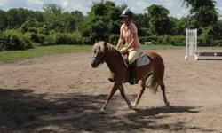 12.1 hh 5 yr old small pony mare, flaxen mane and tail with white blaze.  Very pretty with nice movement and super jump. Quiet and sensible, no spook or stop. Well schooled on flat and jumps a small course with filler, great canter and big step. No vices,