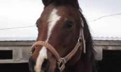 Little Jewel is a 12 year old Arab mare.  She is a very alert, super sensitive petite little girl.  She is very well halter broke & good with her feet.  She does not YET load well, it is a work in progress as she has spent a lot of years in the pasture,