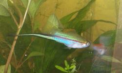 Hello I have 2 male and 3 female juvie swords up for offer. These are juvies and will still grow some. They are healthy and active. The are from 2 different lines. These are natural coloured fish with large swords. Offers accepted within reason. Extra