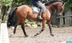 """""""Soldier"""" is a tall 16.3hh, bright bay, lovely 8 year old standardbred gelding for sale. Do not let his breed discourage you, he can and will do anything a QH or warmblood does. Looks and acts like a thoroughbred. Is registered, but have misplaced his"""