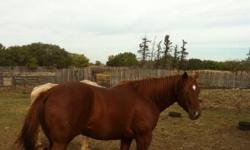Nice 4 year old mare with 2 months training with John Tilley .shows a lot of cow and is really quiet .would keep her myself but can't ride anymore . This ad was posted with the Kijiji Classifieds app.