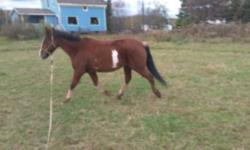 Fiskars is an awesome 13.1hh pinto pony gelding. He is well broke on the flat and schooling 2' courses with changes. He hacks wonderfully and will happily pop over fallen trees and march through any puddle he encounters. He has great manners on the