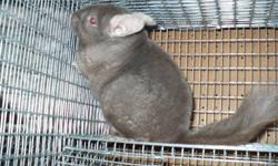 For sale by small hobby breeder is one pedigreed dark tan female bred by Sylvan Lake Chinchillas (in BC, Canada). She is friendly, quiet and would be ideal for breeding or for a family pet. She is currently expecting and will be available to a good home