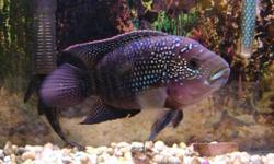 hi i have a 39 gallon tank with no lid and a 10 gallon tank with lid  and a 30gallon tank with lid and a jack dampsey fish   39gal just tank and big filter $65 10gal $30[SOLD] jack dampsey fish $10 [SOLD] 30 gal with filter and sand WITH 3 BABY GREEN