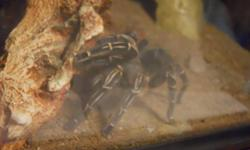 I have two tarantulas, a dessert tarantula for $100, and a pink haired for $50. They come with everything shown in the pictures. Tanks, dishes, plant things. First 2 pictures are the dessert tarantula, and the other 3 are the pink haired.