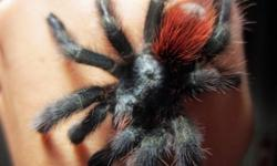 Woah, decided to sell some stuff to make money for some other needs, but the below is only available to Dec 14th at 5pm. Blue tarantula, anthills pink toe! suspected female 0.1.0 Avicularia versicolor 60$ (suspected female, I see a flap after magnifying