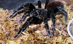 hey all, sadly im clearing out whats left of my stock. all taratulas are healthy and eating crickets weekly. thay all come with housing and substraight.   1 female rose hair $50   1 large 'panama' red rump $100   1 medium 'Texas' tan Tarantula (not sure