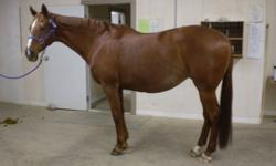 24 year old TB mare for sale, this mare is a real schoolmaster. She was shown in jumping/dressage where she did alot of winning. She is currently used as a english lesson horse, she is very broke quiet, she does very well with kids and 4 year olds can