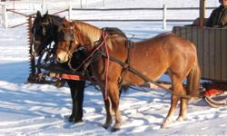 """Black Percheron quarter horse cross 5 year old and Roan Belguim quarter horse cross 4 year old, geldings,16.2 & 16.1 HH, 1350 lbs each, well started in harness. Carriage harness also for sale, 22"""" collars, $2,200.00.  E-mail or call after 7:00 PM"""