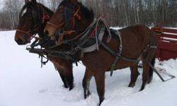 Steve & Herb are  half brothers ,comeing 2 year old team of Belgian , Percheron cross geldings . They are bay in color with good legs & good feet . They are quiet & easy to catch & are good about haveing their feet trimmed . They have about 25 hooks on