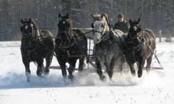 Bob and Duke are 8 year old Percheron geldings who stand 18 HH. They are both well broke to drive single or double and have been used on wagons, in the cart and for sleighrides. They are road safe and quiet. Bob and Duke are featured in the center of the