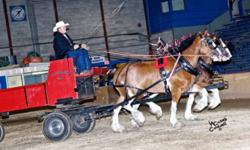 Well broke team of 7 year old Clydesdale mares. Been used in the lead and swing well mannered and well put together. One is broke to ride. will sell separate or as a team any question please call 1-506-470-7754or 1-506-459-8507