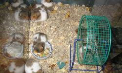 Hi, I Have hamters 25 days old. they are very cute, sale for only 7 dolars....