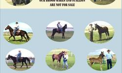 """Beautidful  Show Quality BLACK   Tennessee Walking Horses  For Sale All are Registered with the TWHBEA All Top Quality Blood Lines -  All with many  WGC in their pedigree's All are natural gaited running walk since they could stand and """"Walk"""". All Have"""
