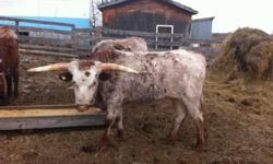 I have 3 texas long horn steers for sale. They have been fed barley for the last month and a half. Ideal for butcher. They are a yar and a half old. Call to negotiate a price: 780-404-4299 This ad was posted with the Kijiji Classifieds app.