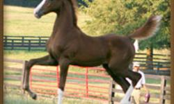 This is an example of the quality of American Saddlebred we breed at Fairfax Farms, Coutts, Alberta   HE IS A WINNER. Just WON the 5 Gaited Junior class at the Southeastern Charity Show. AND HE JUST WON AGAIN AT THE SOUTH EASTERN CHARITY SHOW IN