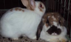 I have 1 Baby Bunnie left looking for a new home. Father is a drawf bunny, mommy is a flopping ear bunny. Family raised so are completely tamed. Phone or email, prefer email.