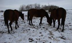 2 year old and up. Some are Kentucky bred. Some are broke to ride. All are open. Reason for selling: Retiring.  $500.00 and up. Can keep til later date. Will consider swap or trade.  For more information and viewing please email.