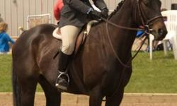TNT is a five year old gelding currently being worked as a hunter jumper. He is a very honest easy going ride. He went to his first show and placed in all of his classes from first to fourth. He has a great calm disposition and would make a good mount for